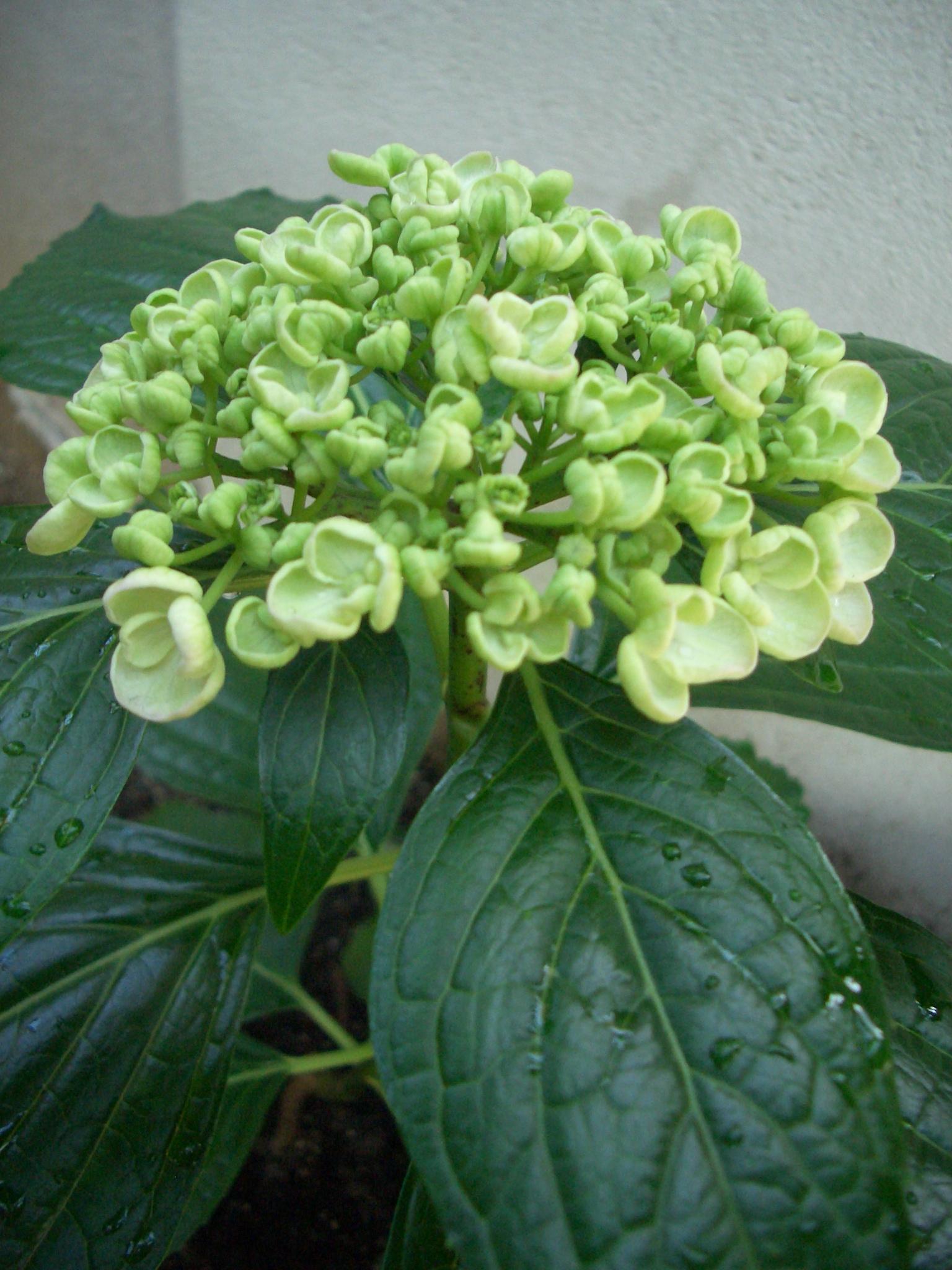 紫陽花(花)